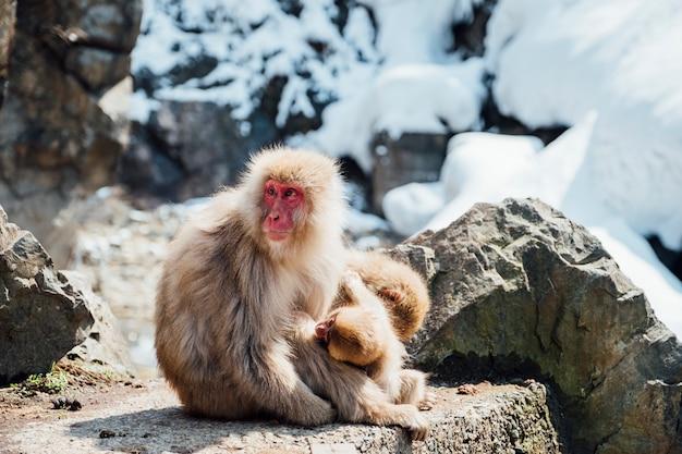 Schneeaffe in japan Kostenlose Fotos
