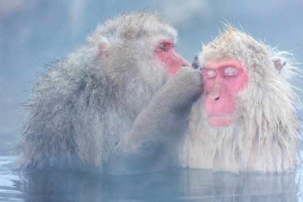 Schneeaffe makaken onsen Premium Fotos