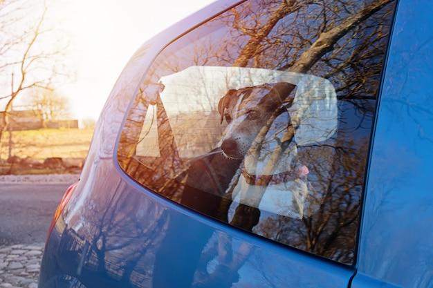 Schneiden sie den hundewelpen, der in verschlossenem auto allein gelassen wird Premium Fotos