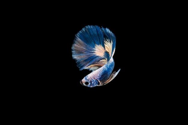 Schön bunt von den siamesischen betta fischen Kostenlose Fotos