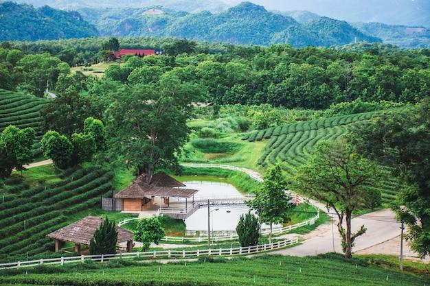 Schöne ansicht des neuen bauernhofes des grünen tees, grünes naturfeld der choui fong-teeplantage, mae chan, chiang rai, thailand Premium Fotos