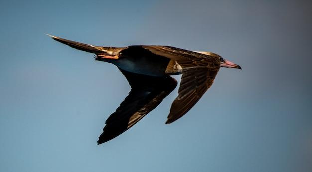Schöne aufnahme eines laysan-albatros, der seinen flug über das korallenmeer frei genießt Kostenlose Fotos