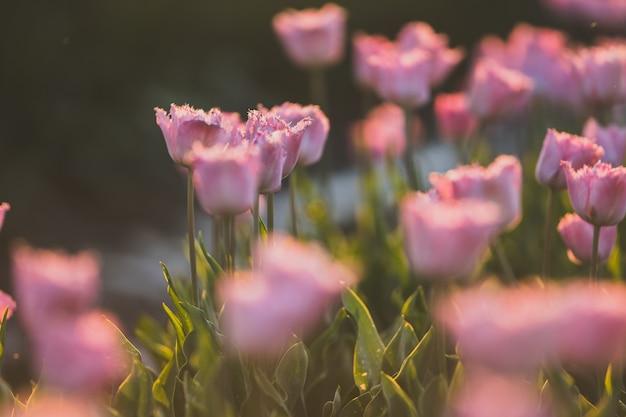 Schöne aufnahme von rosa tulpenfeld - ideal für eine natürliche tapete oder wand Kostenlose Fotos