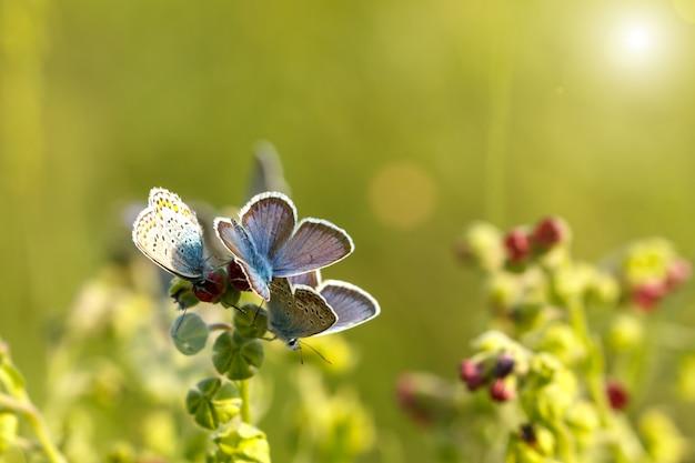 Schöne blaue schmetterlinge, die auf dem gras an einem sonnigen tag sitzen. Premium Fotos
