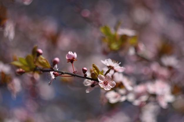Schöne blühende japanische kirsche sakura. jahreszeit hintergrund. natürlicher unscharfer hintergrund wi im freien Kostenlose Fotos