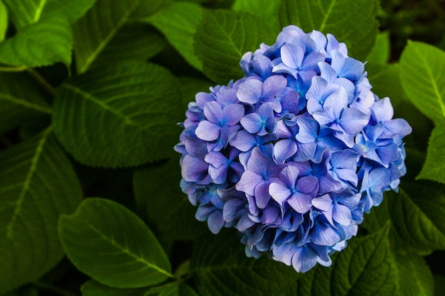 Schöne blume, hortensie-blumen, hortensie macrophylla, das im garten japan blüht. Premium Fotos