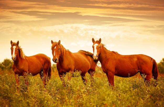 Schöne braune pferde in der grünen wiese während des netten sonnenunterganghimmels Premium Fotos