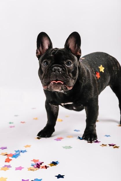 Schöne bulldogge posiert mit party-elementen Kostenlose Fotos
