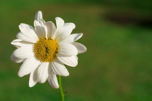 Schöne gänseblümchen mit unscharfen hintergrund Kostenlose Fotos