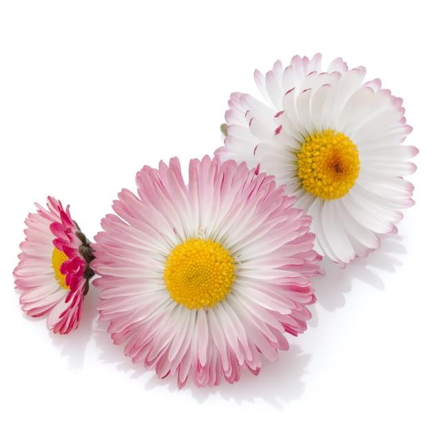 Schöne gänseblümchenblumen lokalisiert auf weißem ausschnitt Premium Fotos