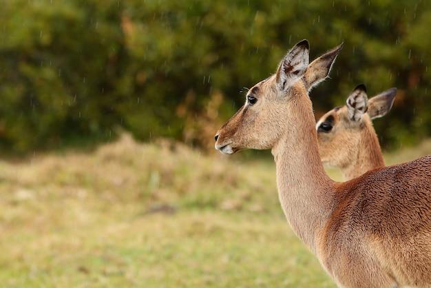 Schöne gazellen, die in einem grasfeld stehen Kostenlose Fotos