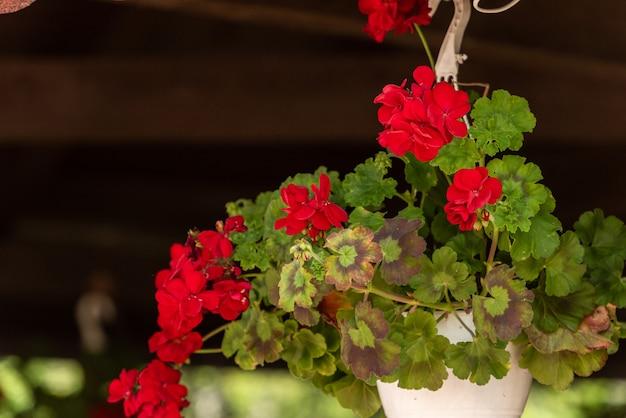 Schöne geranienblumen Premium Fotos
