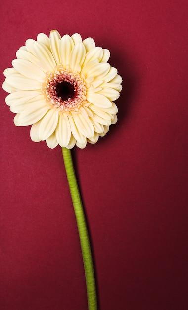 Schöne gerbera auf burgund Kostenlose Fotos