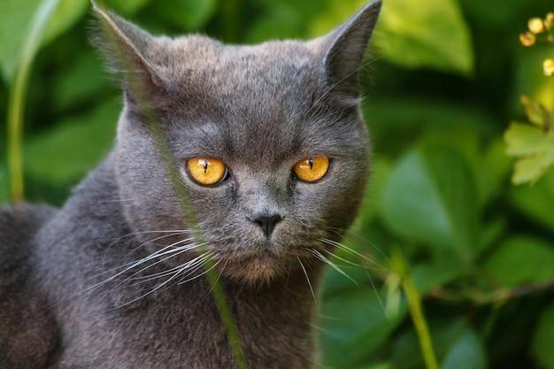 Schöne graue britisch kurzhaar-katze, die im gras im sommergarten sitzt Premium Fotos