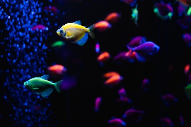Schöne gruppe von seefischen. buntes leben unter wasser. ternäre nahaufnahme des leuchtend gelben aquarienfisches. selektiver fokus Premium Fotos