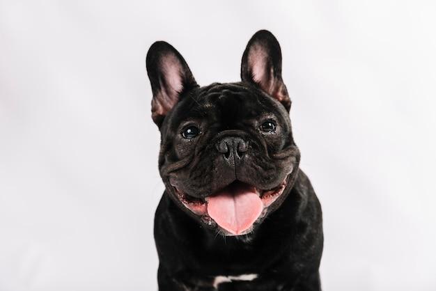 Schöne haustiere zusammensetzung mit bulldogge Premium Fotos