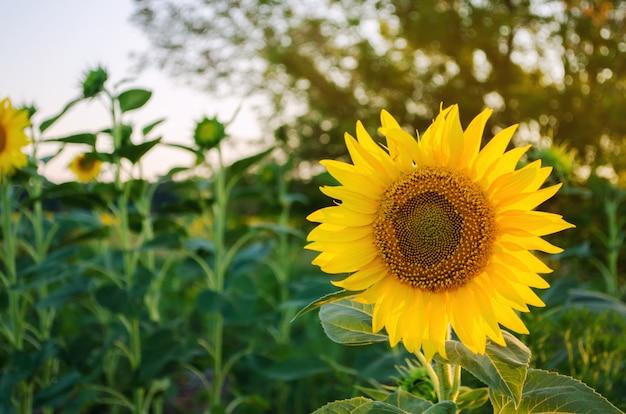 Schöne junge sonnenblume Premium Fotos