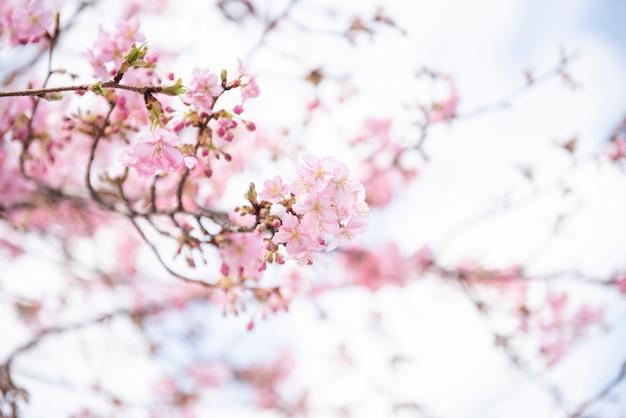 Schöne kirschblüte in matsuda, japan Premium Fotos