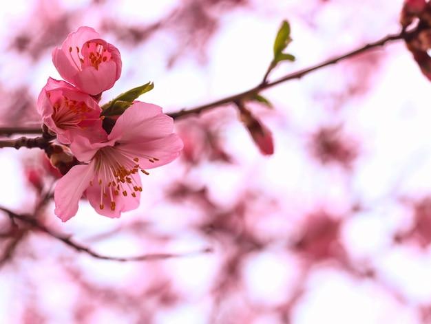 Schöne kirschblüte Kostenlose Fotos