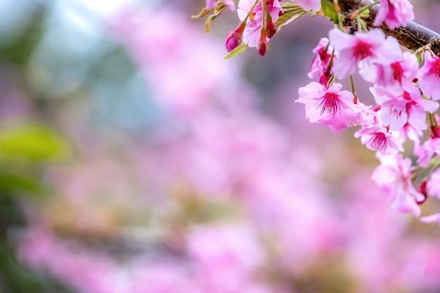Schöne kirschblüten sakura-baum blühen im frühling über dem garten, kopieren raum, nahaufnahme. Premium Fotos
