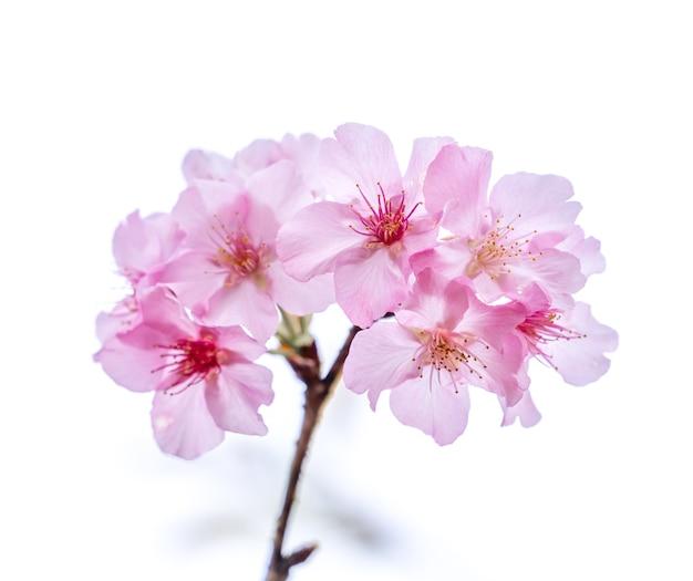 Schöne kirschblüten-sakura-baumblüte im frühjahr lokalisiert auf weißem hintergrund, kopienraum, nahaufnahme. Premium Fotos