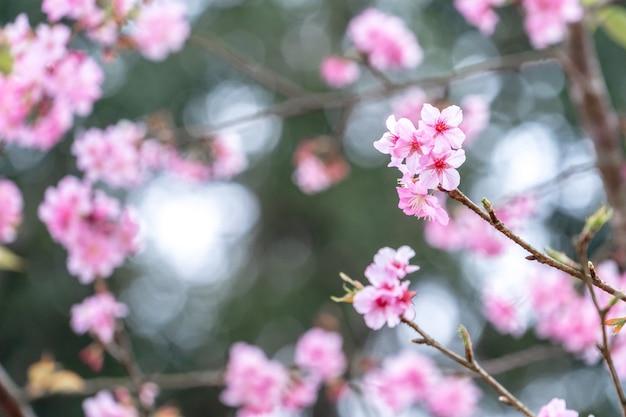 Schöne kirschblüten sakura baumblüte im frühling im park, kopierraum, nahaufnahme. Premium Fotos