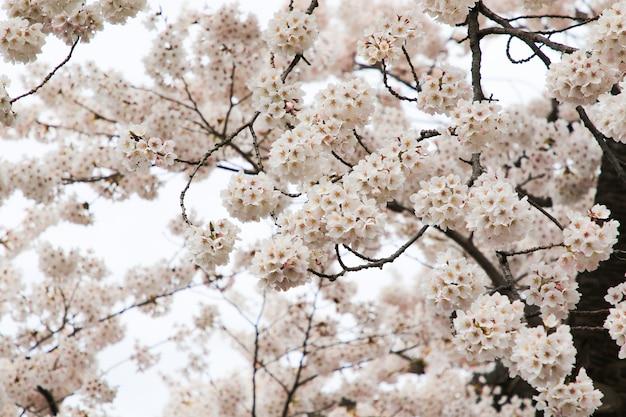 Schöne kirschblüten. sakura blumen in japan. reisezeit frühling. Premium Fotos