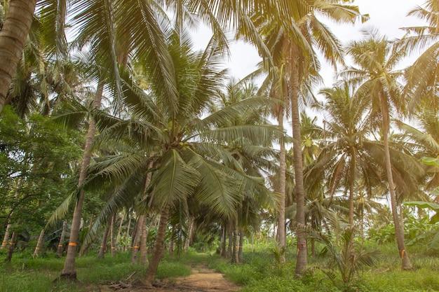 Schöne kokosnusspalmen und himmel im landwirtschaftsbauernhof bei thailand Premium Fotos