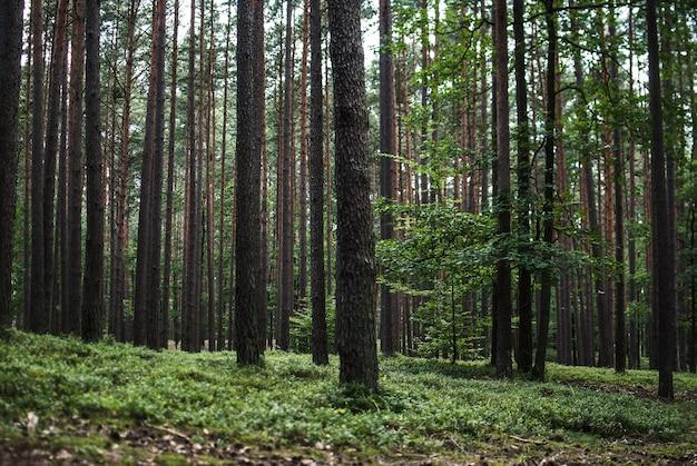 Schöne landschaft der hohen bäume im wald Kostenlose Fotos