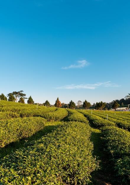 Schöne landschaftsansicht des großen teebauernhofes auf dem hügel mit frischen blättern Premium Fotos