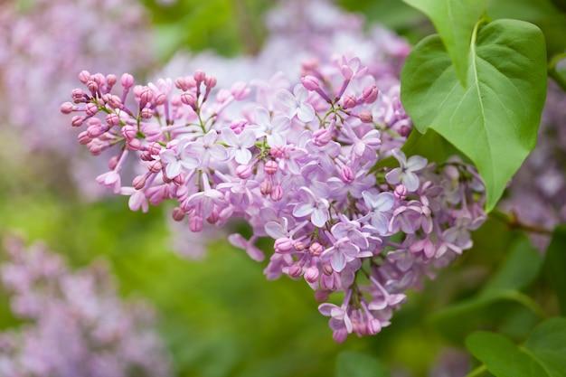 Schöne lila blumen im garten Premium Fotos