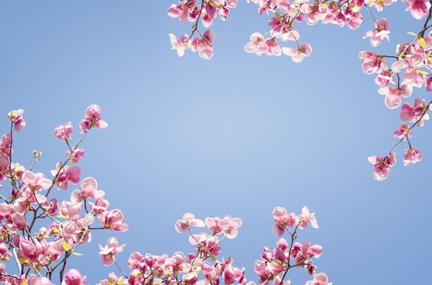 Schöne magnolienbaumblüten im frühjahr. Premium Fotos