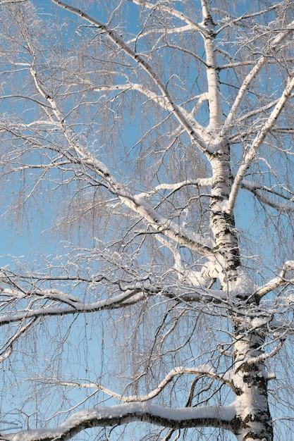 Schöne natur des nordens, natürliche landschaft mit großen bäumen im frostigen winter. birke Premium Fotos