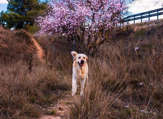 Schöne naturszene mit blühendem baum- und labrador-hund Premium Fotos