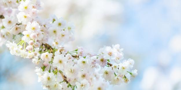 Schöne naturszene mit blühendem kirschbaum im frühjahr Premium Fotos