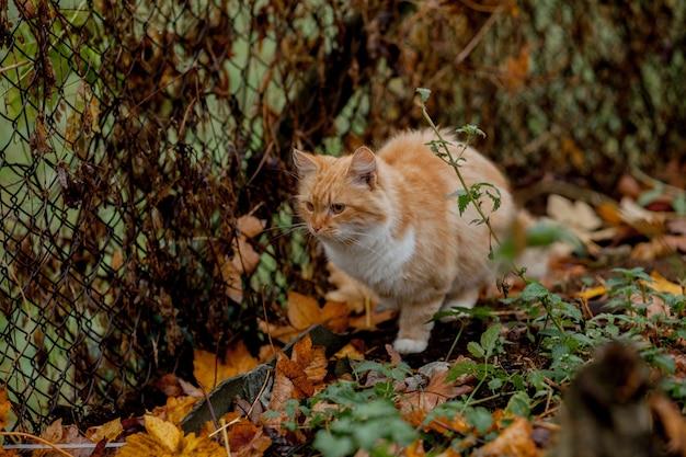 Schöne orange-weiße katze kommt im freien in natur Premium Fotos
