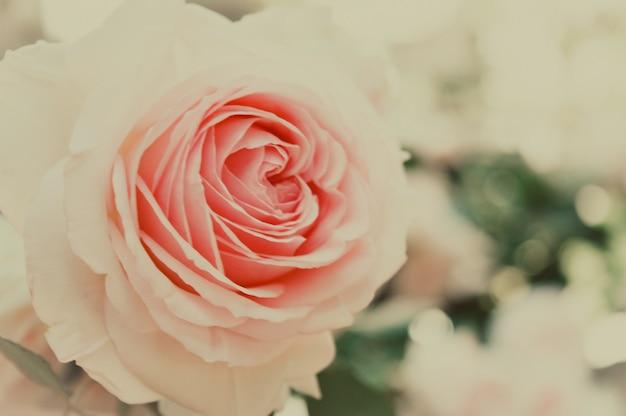 Schöne pastellfarben-rosenblume Premium Fotos