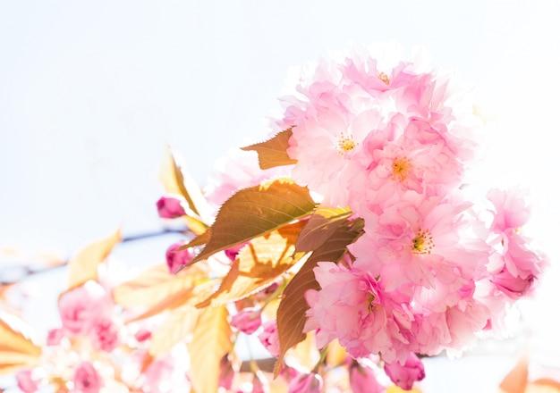 Schöne rosa kirschblüte. Kostenlose Fotos