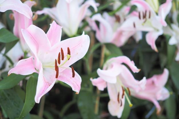 Schöne rosa lilienblume auf natürlichem unscharfem hintergrund im garten Premium Fotos