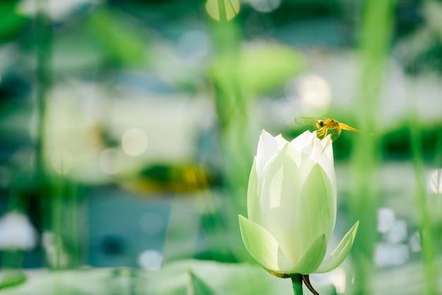 Schöne rosa lotosblume der nahaufnahme im teich. Premium Fotos