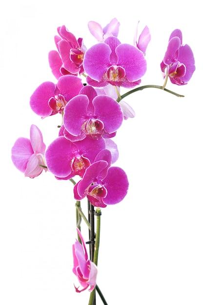 Schöne rosa orchidee Premium Fotos