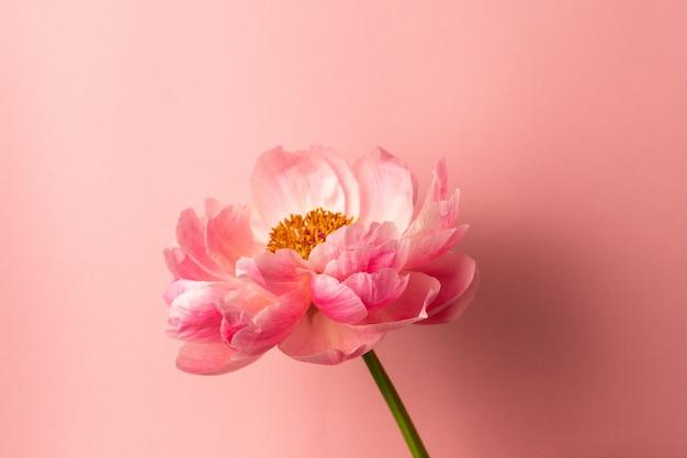 Schöne rosa pfingstrosenblume auf pastellrosaoberfläche mit kopienraum Premium Fotos
