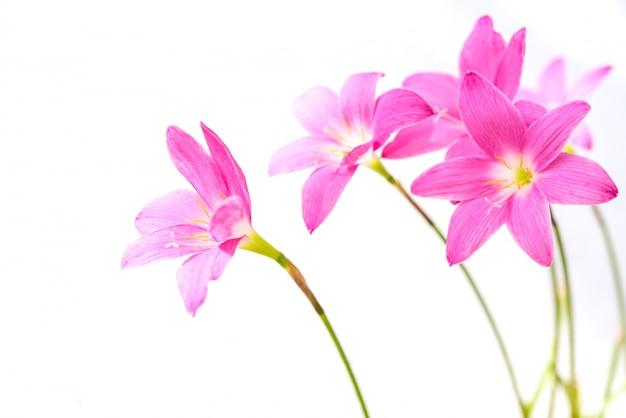 Schöne rosa regenlilienblumen lokalisiert auf weißem hintergrund Premium Fotos