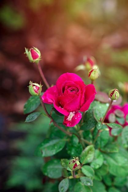 Schöne rosa rose mit tautropfen im garten an einem sonnigen sommertag. rosen zum valentinstag. Premium Fotos
