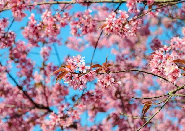 Schöne rosa wilde himalajakirschblüte im frühjahr über blauem himmel Premium Fotos