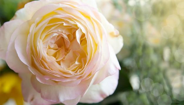 Schöne rose mit einem interessanten zentrum in der sonne auf einer unscharfen natürlichen oberfläche Premium Fotos