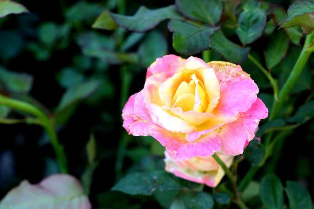 Schöne rosen in tropischen Premium Fotos