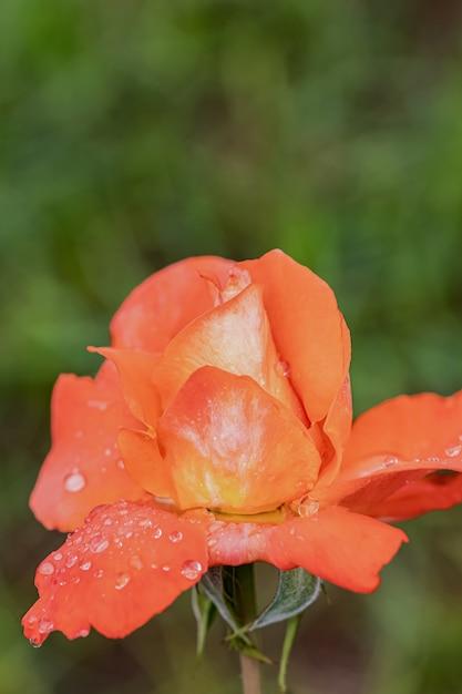 Schöne rosen nach regen Premium Fotos