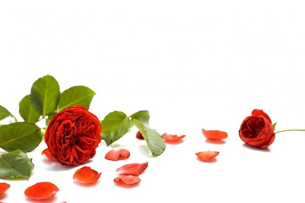 Schöne rote rose mit blättern auf weiß Premium Fotos