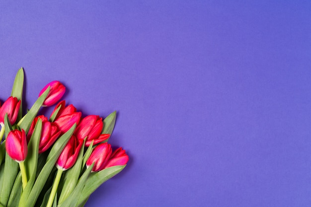Schöne rote tulpen auf blauem hintergrund. Premium Fotos